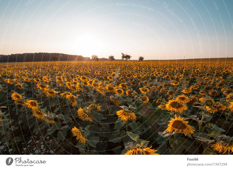 Sky Nature Plant Summer Green Flower Calm Environment Yellow Moody Field Esthetic Warm-heartedness Beautiful weather Romance Agriculture