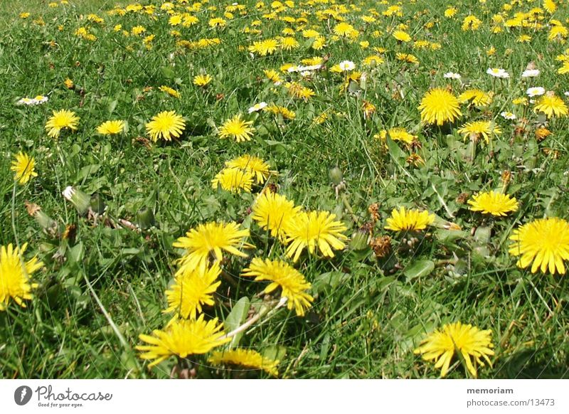 anti_rasewheel mowing Meadow Flower Blossom Lawn yellow-irgendwelche-comic-weeds