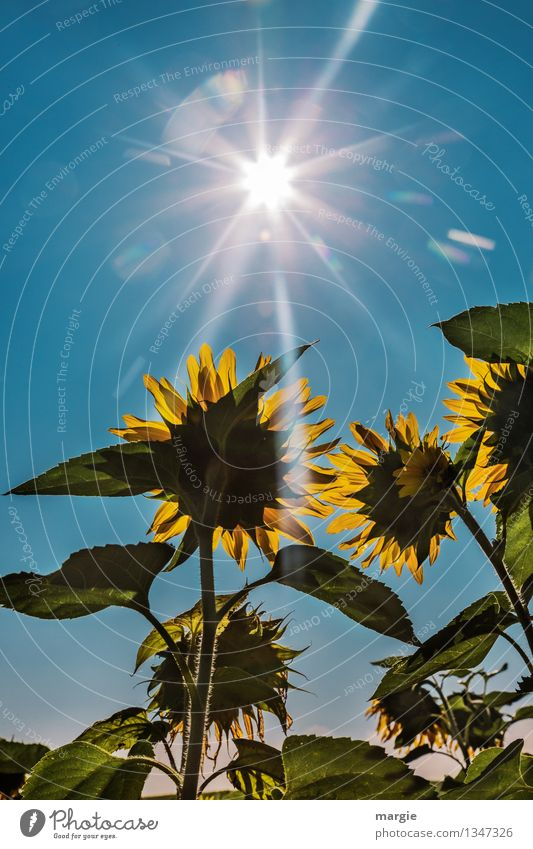 .... and they shone brightly Environment Nature Plant Animal Sky Cloudless sky Summer Autumn Flower Leaf Blossom Foliage plant Agricultural crop Sunflower