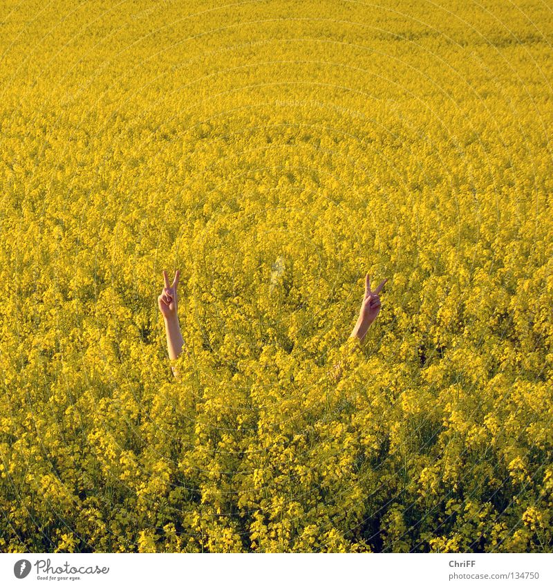 Peace in Rapsfeld I Canola Hand Gesture Field Canola field Yellow Spring Blossoming Nature Arm