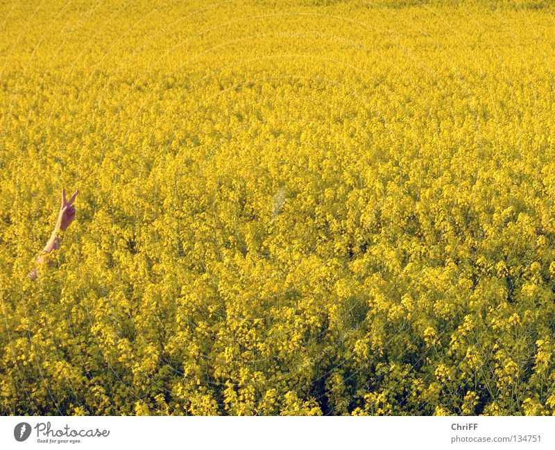Peace in Rapsfeld II Canola Hand Gesture Field Canola field Yellow Spring Blossoming Nature Arm