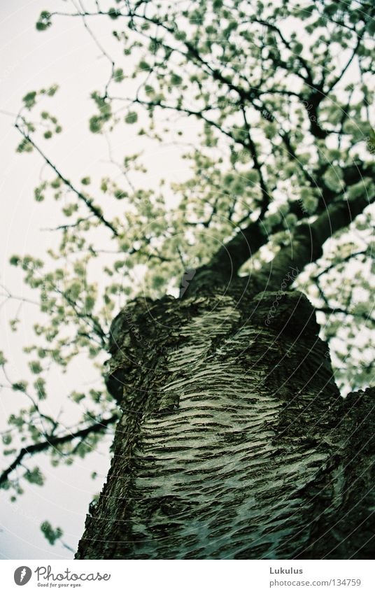 Old Sky White Tree Black Clouds Blossom Spring Gray