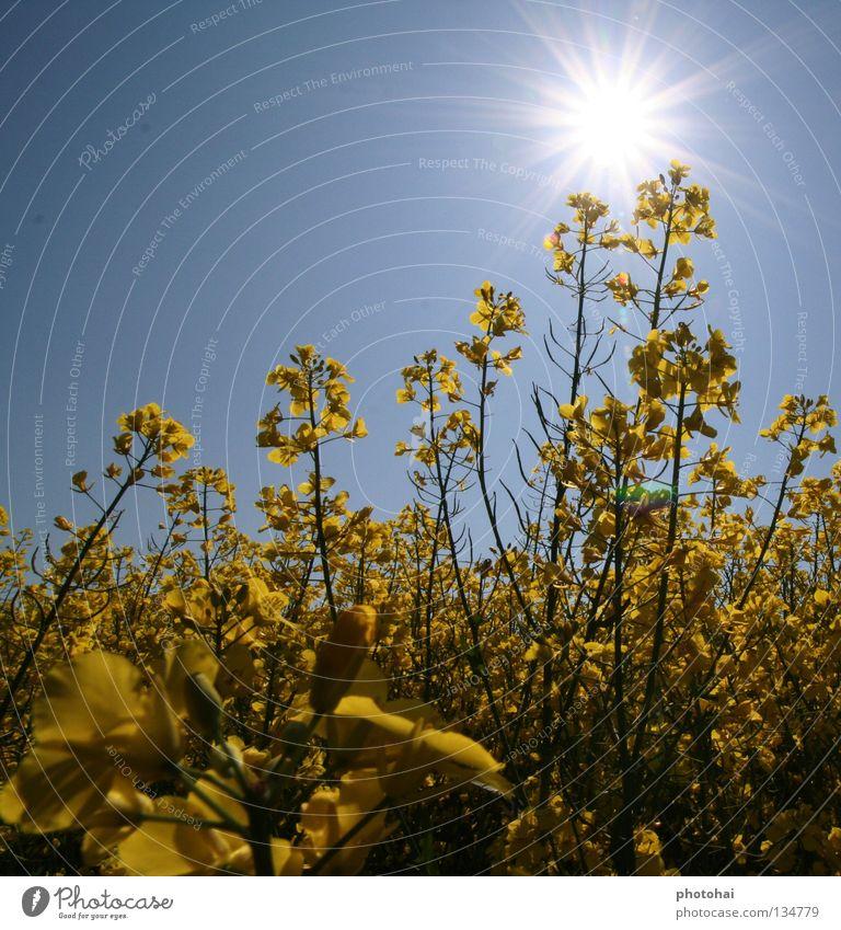 Sky Joy Spring Field Canola