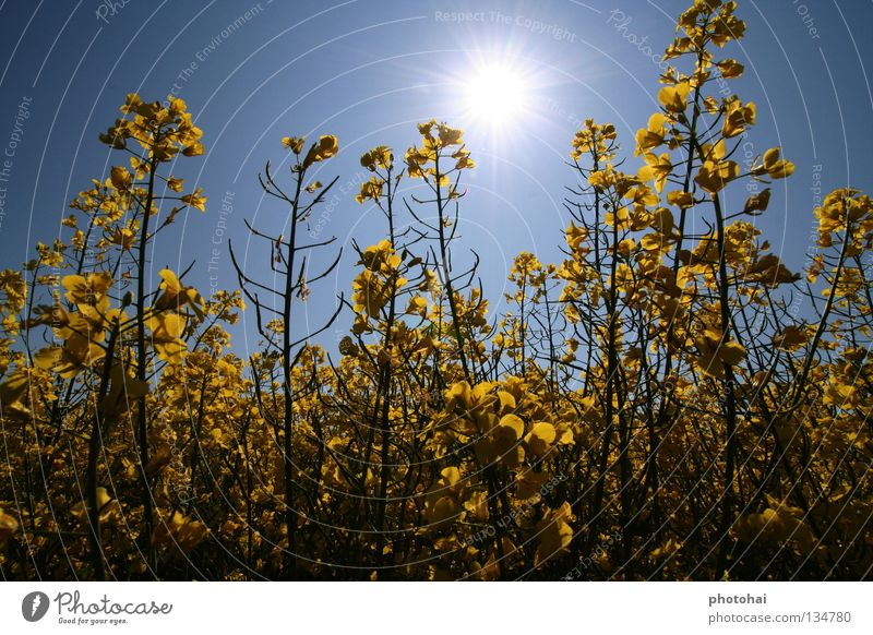 Rapeseed field 2 Canola Field Back-light Spring Sky yellow splendour always beautiful to look at Joy beautiful colours cool look