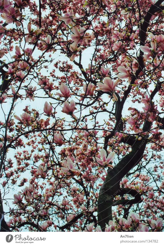 White Tree Blossom Spring Pink Smooth Magnolia plants Splendid