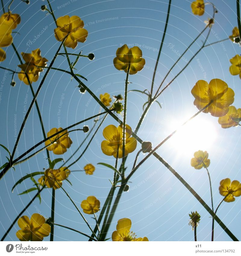 Ants view II Summer Physics Hot Burn Seasons Flower Blossom Butter Yellow Yolk Flower meadow Meadow Sky blue Azure blue Worm's-eye view Light Wallpaper Park Sun