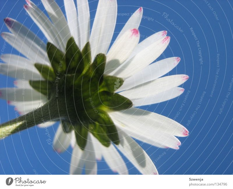 daisies Colour photo Environment Nature Plant Animal Flower Growth Blue Green Pink White Fragrance Daisy Sky blue Exterior shot