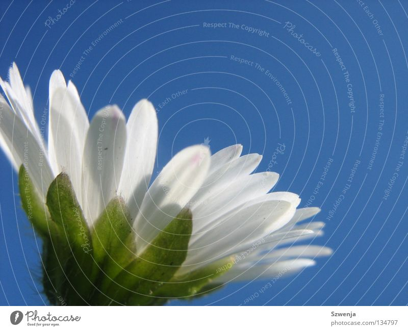 Daisy again Deserted Sky Flower Blue Green White Sky blue Goose