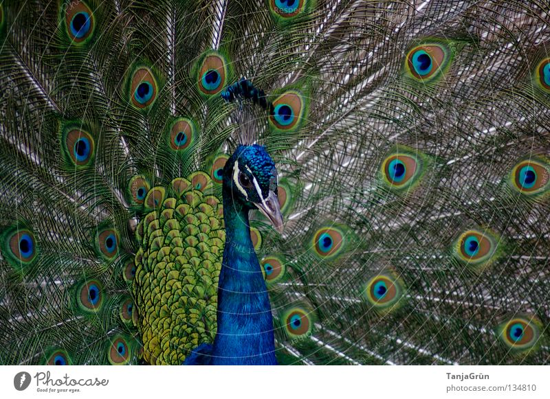 majestically Peacock Green Gray Service Bird Rutting season Flirt Multicoloured Animal Beak Black Masculine Conceited Beautiful Majestic