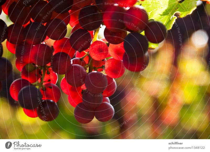 Pinot Noir pour toi Plant Agricultural crop Sweet Red wine Vine Bunch of grapes Wine Vineyard Wine growing Vine leaf Exterior shot Deserted