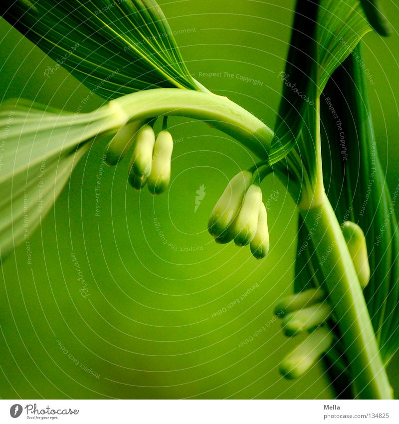 Nature Green Plant Flower Environment Natural Fresh Growth Ecological Biological Solomon's Seal Polygantum multiflorum