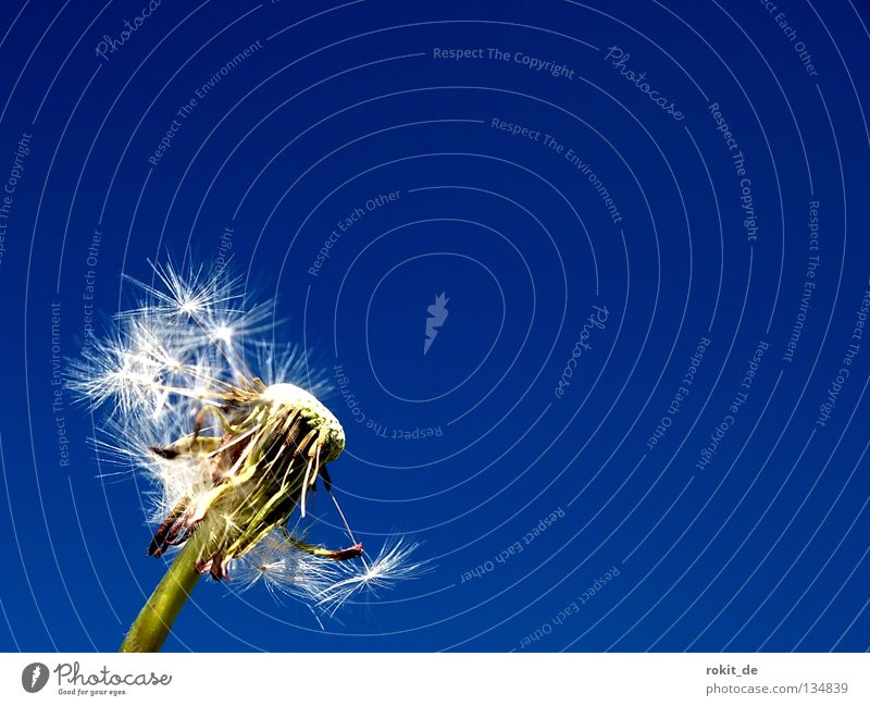 reserve team Dandelion Blow Summer Stalk Remainder Green Easy Ease Advance party Spring Get stuck Beautiful weather Loneliness Joy jump Faded Doomed Flying Blue