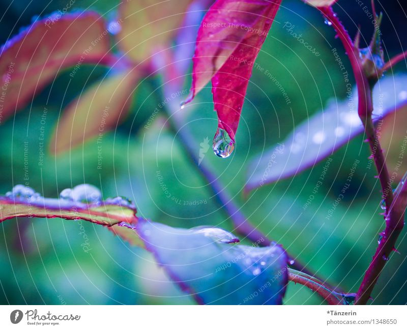 raindrop Nature Plant Water Drops of water Autumn Bad weather Rain Rose Leaf Garden Esthetic Fluid Fresh Beautiful Natural Juicy Clean Soft Blue Green Red Calm
