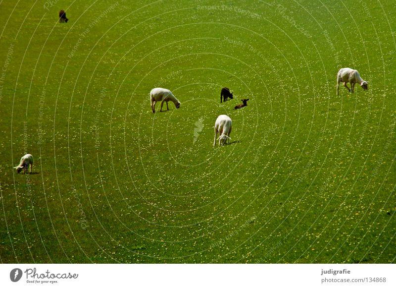 White sheep | Black sheep Sheep Dike Meadow Grass Daisy Environment Wool Delicate Small To feed Animal Mammal Pet Colour Beach Coast Lamb white sheep North Sea