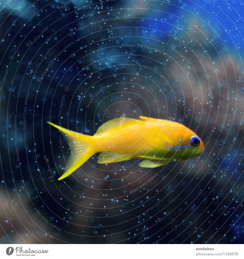 Blue Water Ocean Animal Black Yellow Natural Small Swimming & Bathing Gold Glass Fish Dive Pet Animal face Zoo