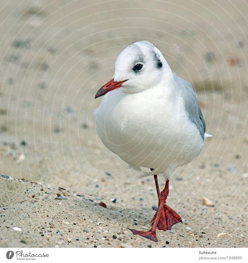 Nature White Ocean Red Animal Beach Coast Gray Bird Going Sand Feather Island Cute Baltic Sea North Sea