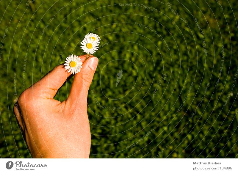Late Mother's Day Present Daisy Flower Blossom Hand Fingers Give Donate Gift Meadow Summer Spring Spring fever Friendliness Display of affection