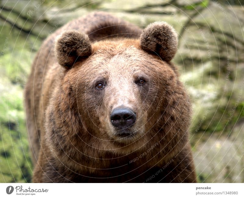 Thick fur Animal Wild animal Animal face 1 Sign Threat Authentic Cuddly Strong Communicate Competent Contact Nature Bear Looking into the camera Pelt Ear