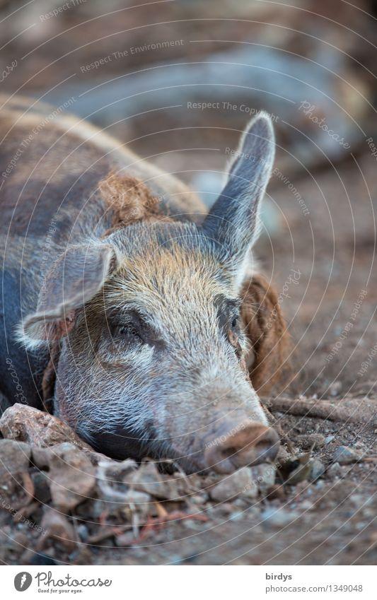 sleep disorder Earth Farm animal Swine 1 Animal Listening Lie Sleep Esthetic Exceptional Contentment Fatigue Nature Agriculture Organic produce Organic farming