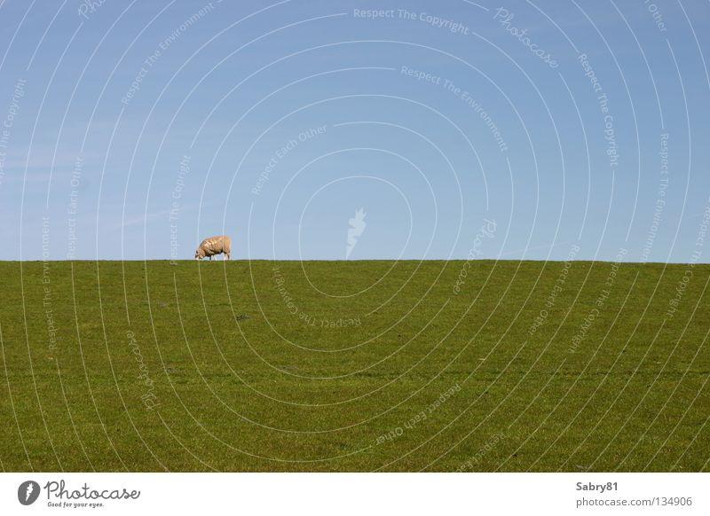 Vacation & Travel Spring Air Coast Sheep Mammal Schleswig-Holstein Dike Lamb St. Peter-Ording