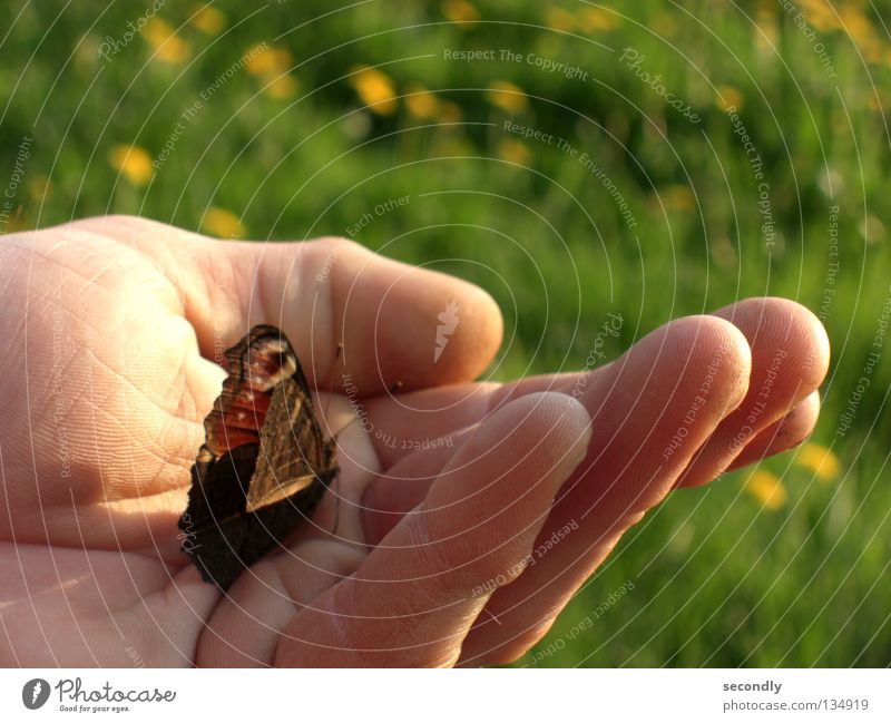 Human being Hand Meadow Spring Safety Insect Butterfly Dandelion Worm Peacock butterfly
