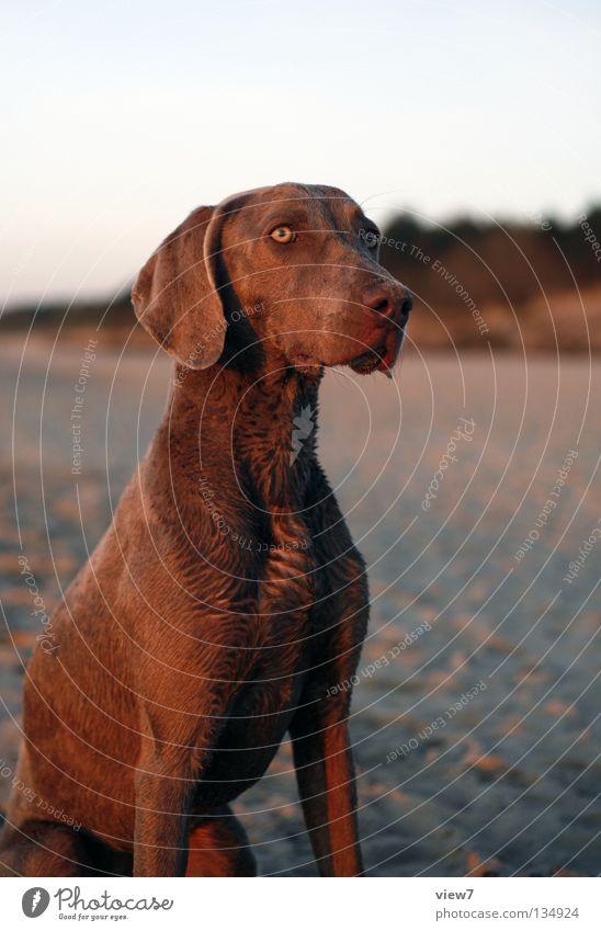 Beach Eyes Dog Sand Sit Growth Cute Observe Animal face Pelt Trust Watchfulness Dusk Mammal Snout Attentive