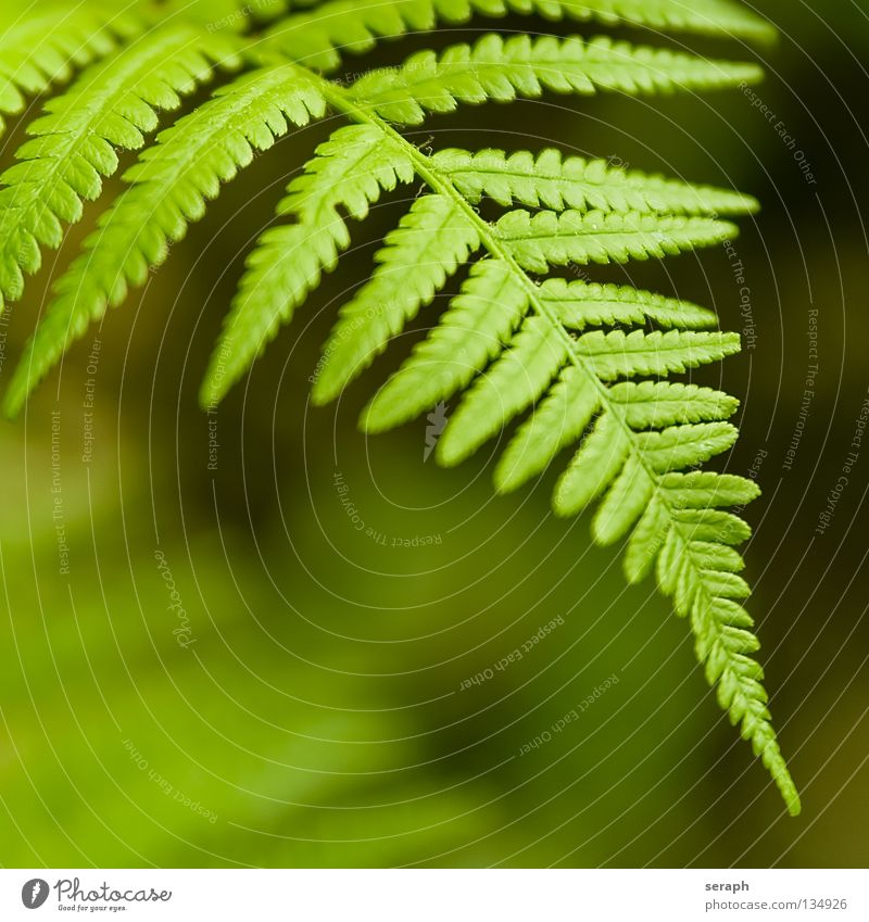 Fern Nature Plant Green Leaf Natural Growth Fresh Stalk Botany Delicate Leaf green Spore Pteridopsida Organic Plumed