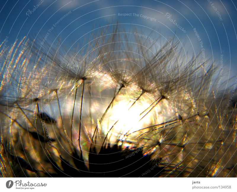Sky Sun Flower Summer Clouds Meadow Dandelion Sunset