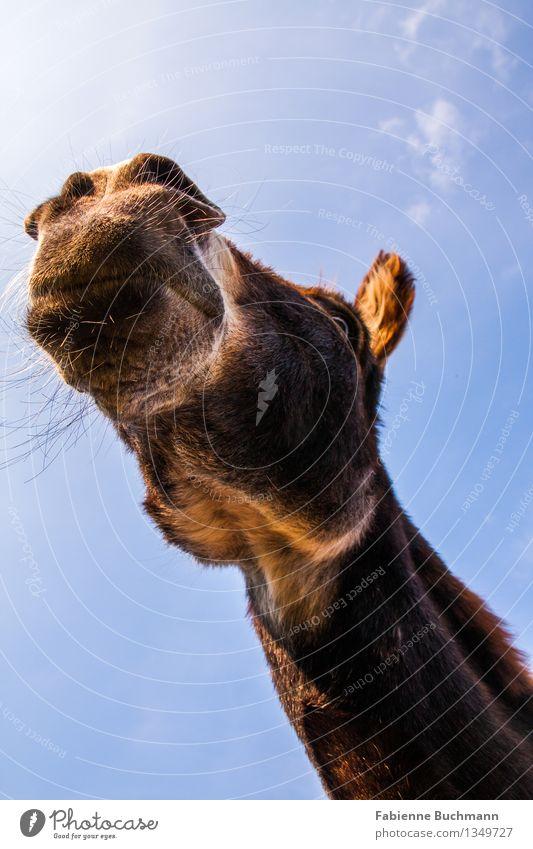 Sky Blue White Animal Eyes Brown Observe Illuminate Pelt Watchfulness Brunette Animal face Neck Muzzle Jaw Donkey