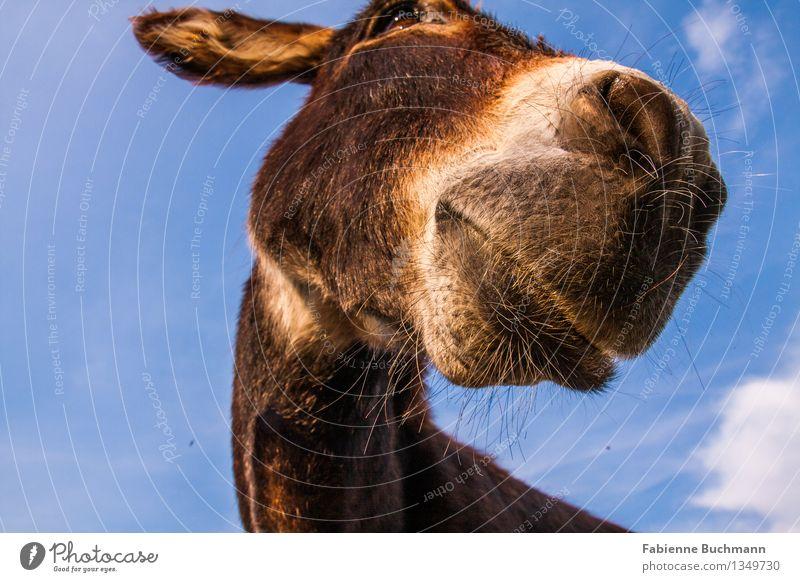 Sky Blue White Animal Brown Head Beautiful weather Pelt Watchfulness Animal face Interest Neck Muzzle Donkey Nostrils Dog-ear