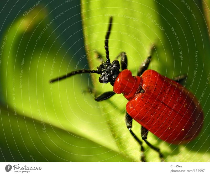 Green Red Animal Black Spring Insect To feed Beetle Lily Pests Northern Forest Lily beetle