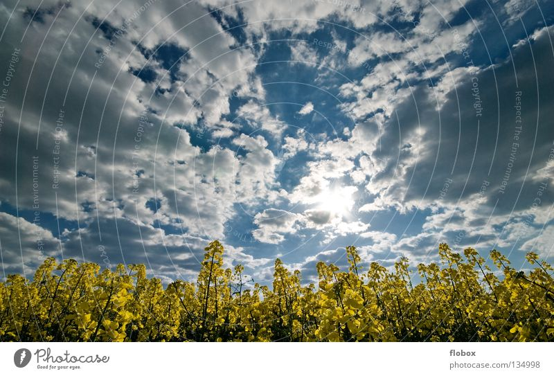 Rap, canola, canola, canola, canola... Canola field Oilseed rape cultivation Clouds in the sky Cloud formation Wisp of cloud Cloud field Agriculture Deserted