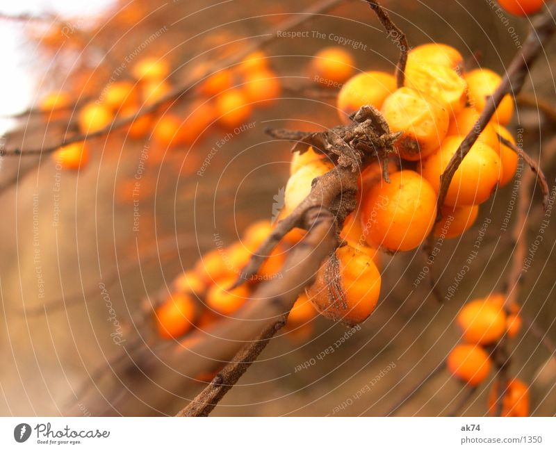 Autumn Brown Orange Fruit Bushes Branch Twig Hiddensee Sallow thorn