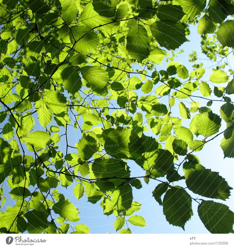 Tree Green Blue Summer Leaf Spring Warmth Physics Branch Seasons Beautiful weather Twig Juicy Sky blue Deciduous tree Branched