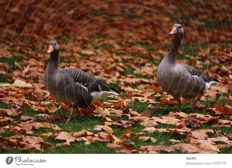 two autumn geese in autumn park wild geese Pair of animals two together November mood November picture November light Autumn leaves Autumnal colours