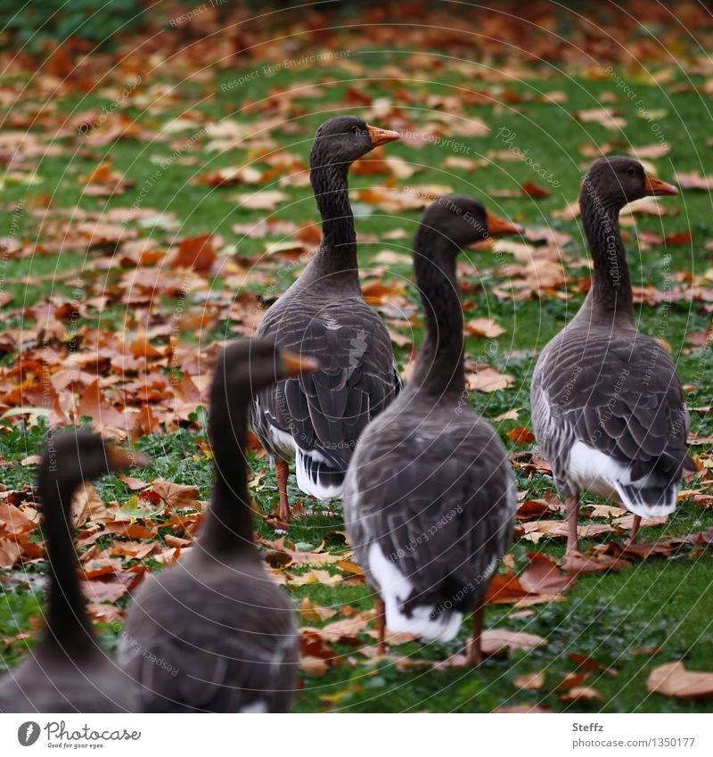 Nature Autumn Meadow Bird Together Multiple Group of animals Attachment Direction Autumn leaves Equal Goose Wild goose Group photo Wild bird