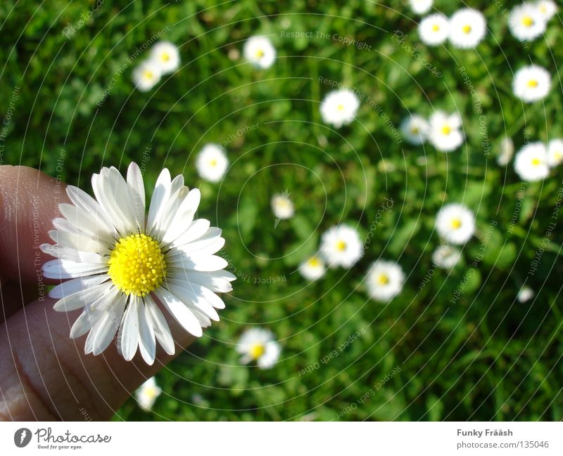 Nature Hand Green Summer Flower Grass Garden Hope Desire Delicate Daisy Religion and faith Flower meadow Fragile Popular belief Meadow flower