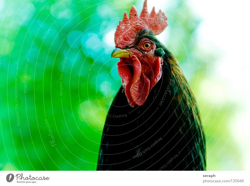 Rooster Animal Cockscomb Bird Beak Masculine Superior Watchfulness Background picture Farm Barn fowl Guard Alert Crow Feather Majestic Red cock Comb Detail