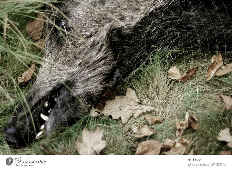 Pigs and cheapskates Wild boar Boar Male boar Grass Leaf Hunter Sleep Calm Pelt Meat Mammal Set of teeth tusk Death Hunting etc etc Eyes