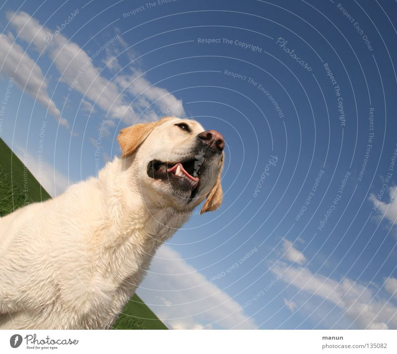 Tessa Clouds Sky blue Blonde Dog Labrador Summer Sublime Majestic Calm Goodness Serene Endurance Trust Animal Soft Snout Cute Dog's head Nose Set of teeth Green
