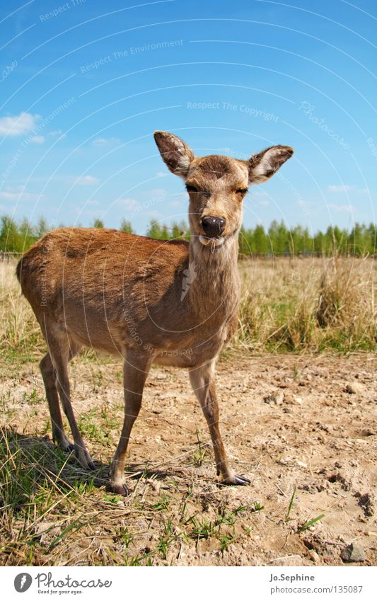 pussycat III Summer Nature Animal Wild animal Bambi Roe deer Steppe Badlands Mammal sika deer Be confident Animal portrait Drought Dry Grass Blue sky Looking
