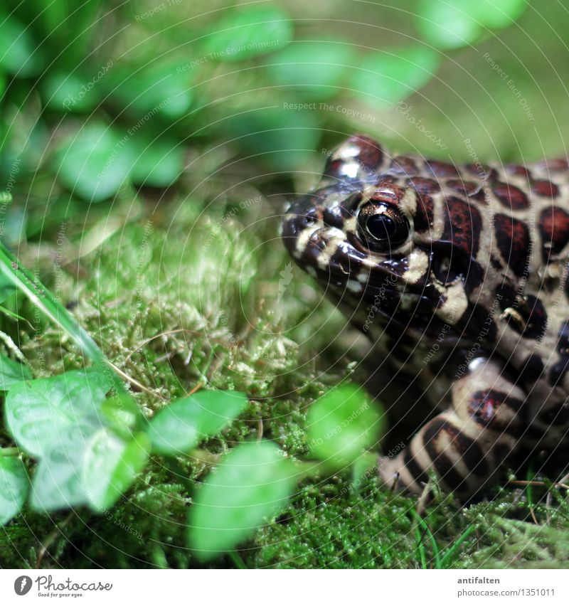 The Frog Nature Grass Moss Leaf Garden Park Meadow Animal Animal face Zoo Frog eyes Frog's legs Worm's-eye view 1 Observe Glittering Wet Natural Brown Green