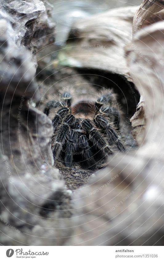horrendous Nature Earth Rock Mountain Animal Spider Animal face Animal tracks Zoo Aquarium Bird-eating spider Spider's web Spider legs Legs Crouch Crawl