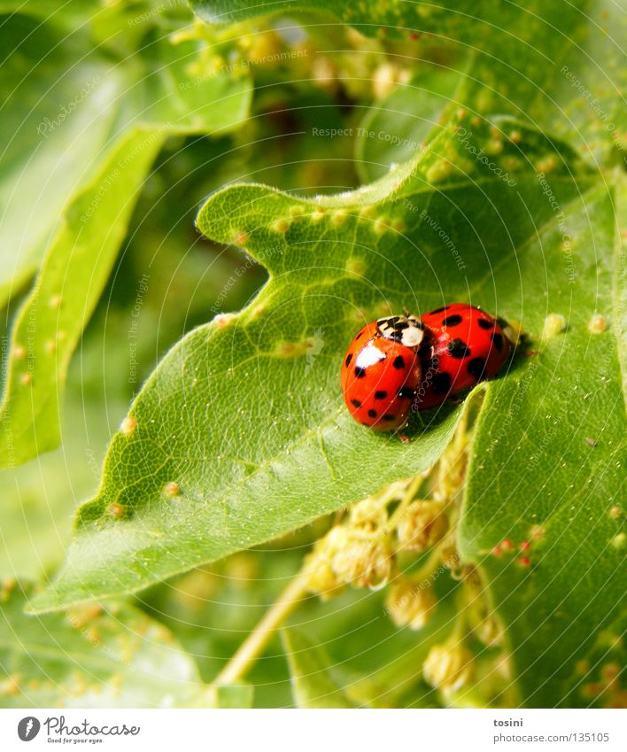 Ladybird love [1/2] Beetle Animal Leaf Nature Green Red Patch Point Together Partner Friendship Infatuation Spring Spring fever In pairs Pair of animals