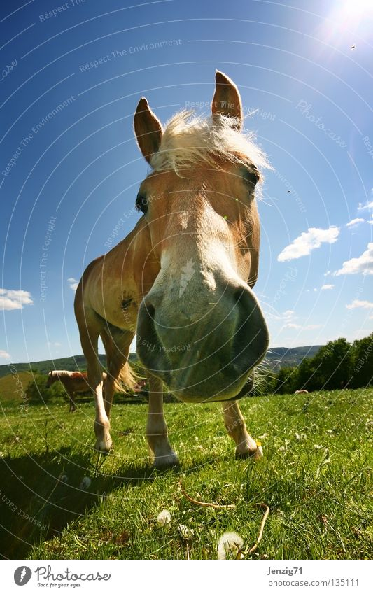 Sky Meadow Grass Nose Horse Pasture Mammal Animal Dialog partner Haflinger