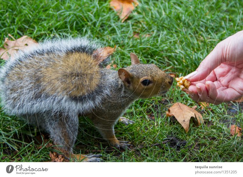 mealtime Hand Grass Nut Walnut Park Meadow Animal Wild animal Squirrel 1 Eating To feed Feeding Appetite Exterior shot Day
