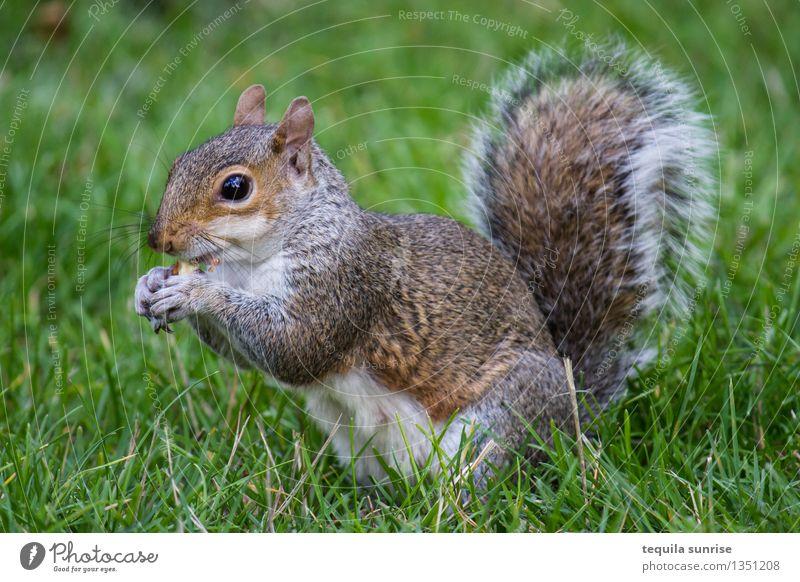 meal Environment Nature Plant Animal Grass Garden Park Meadow Wild animal Squirrel 1 Eating To feed Fat Cuddly Brown Gray Green Meal Nut Colour photo Close-up