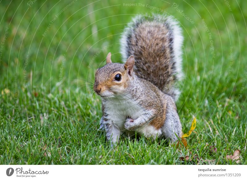 vigilant Environment Nature Plant Animal Grass Garden Meadow Wild animal Squirrel 1 Crouch Looking Cuddly Brown Gray Green Watchfulness Colour photo