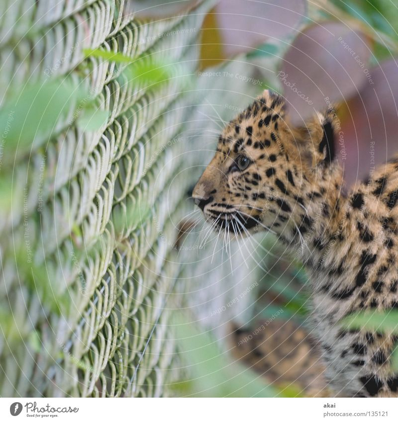 Calm Animal Search Pelt Zoo Concentrate Hunting Fence Watchfulness Captured Mammal Exotic Aim Hunter Panther Foraging