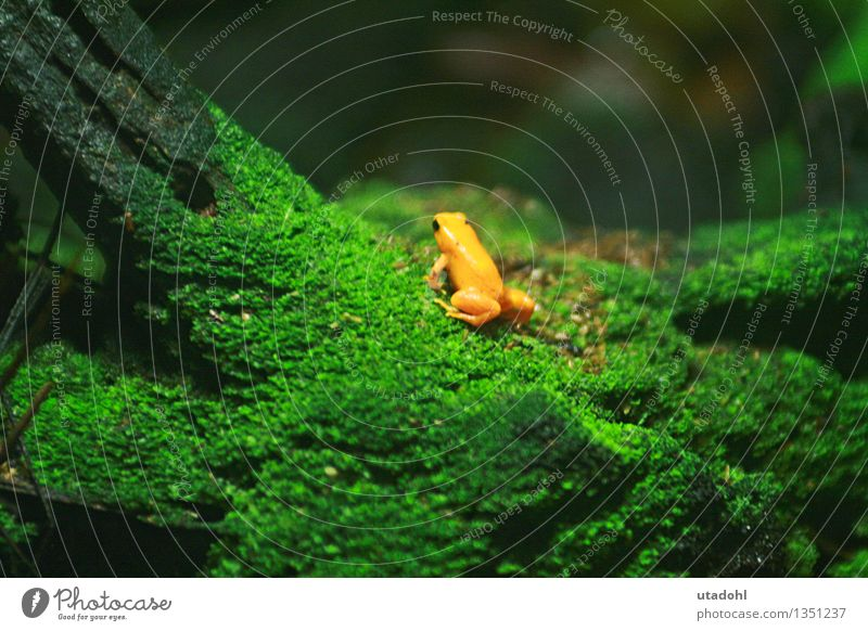Golden poison frog II Environment Nature Landscape Plant Animal Moss Virgin forest Wild animal Frog 1 Crawl Slimy Yellow Green poisonous Colour photo